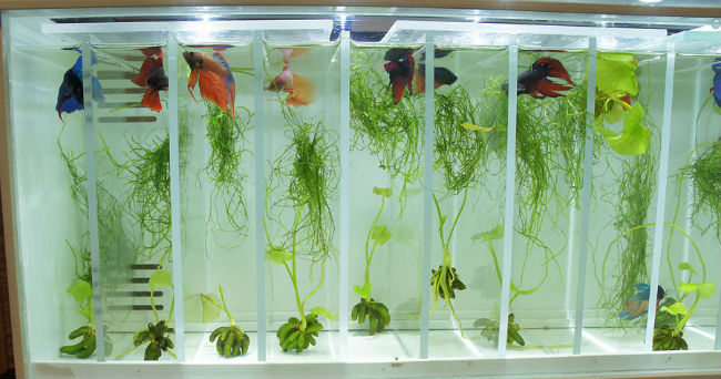 The Ultimate Betta Tank for Retail Sales