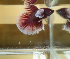 Big ears Betta for Sale