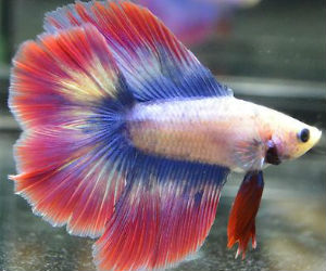 Butterfly Betta fish for Sale