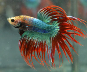 Crowntail Betta fish for Sale