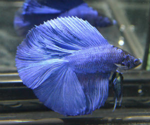 Double tail betta fish for sale