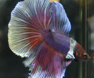 Dumbo ears Betta for sale