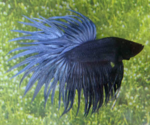 Fancy Betta fish for sale