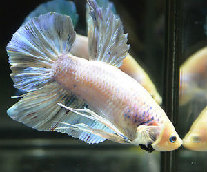 Giant Betta fish for Sale