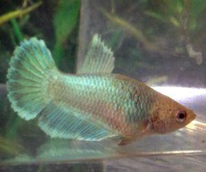 Green Betta fish for Sale