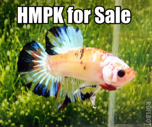 HMPK Betta fish for Sale