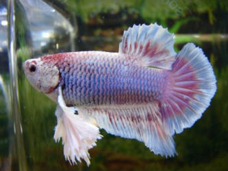 Pink Betta fish for Sale