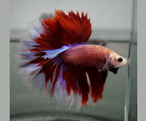 Rosetail Betta fish for Sale