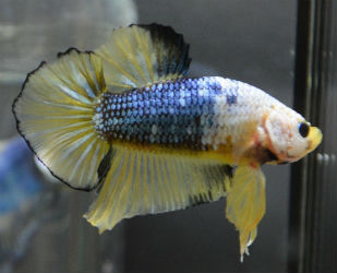 Yellow Betta fish for Sale