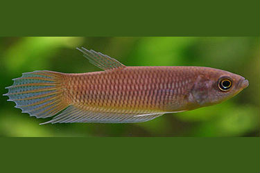 Betta anabatoides group-