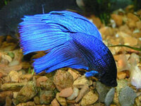 Betta Fish Care While You're Away