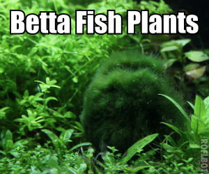 Betta fish plants for sale