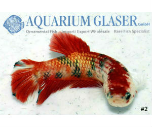 Betta koi Glaser GmbH