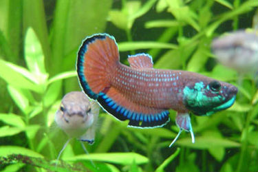 Betta picta group