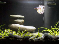Betta Fish Filtration, Heaters, and Other Considerations