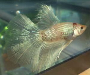 Cellophane Betta fish male