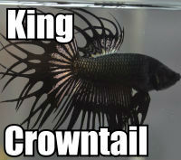 Click to order King Crowntail the holy grail of Bettas