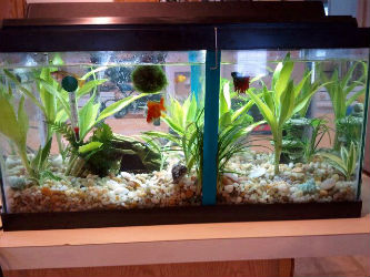 Offering betta tank separators photo credit Donna Jones 2012