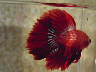 Feather Tail Betta