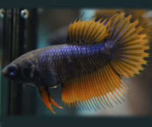 Double ray crowntail female Betta