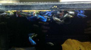 photo of live Female Betta Freshwater Fish