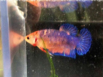 Crowntail Female Betta