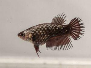 Chocolate female Betta fish online