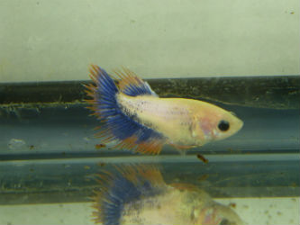 Multi speckled female Betta sale