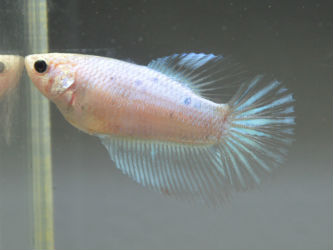 Crowntail Female Betta Live