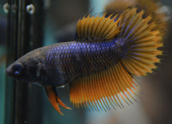 FEMALE doubleray crowntail
