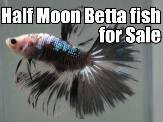 Offering beautiful Half Moon Betta Fish for Sale.