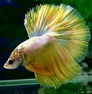 Grade A Halfmoon Betta fish from Thailand