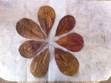 How to Use Dry Indian Almond Leaves by Clement Chee from Malaysia