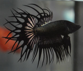 """HOLY GRAIL"" CROSSRAY KING CROWNTAIL male"