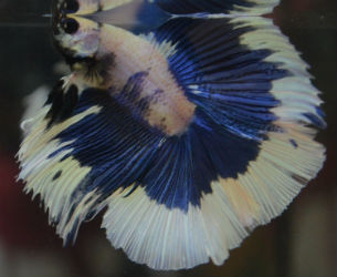 Marbled butterfly doubletail male for sale