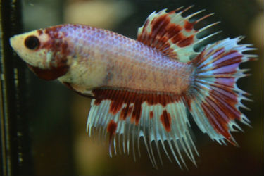 Marbled butterfly splashed female crowntail for sale