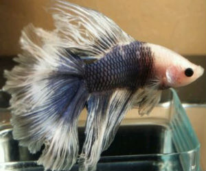 Monkey Face Cellophane Betta for sale