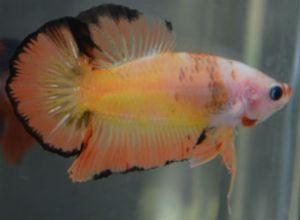 multi toned orange SUNSET HMPK male
