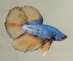 Offering beautiful Mustard Gas varieties of Bettas