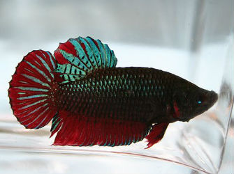 Plakat Betta fish for Sale photo by Pet Zone Tropical Fish