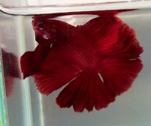 Offering beautiful Red Betta fish for purchase