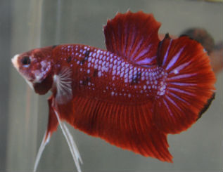 Samurai Betta fish for sale