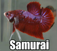 Click to order Samurai Betta