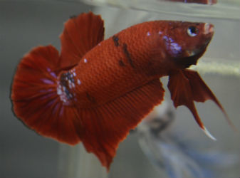 Samurai halfmoon plakat betta for sale