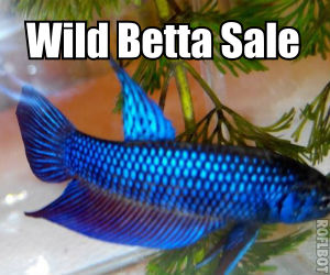 Wild Betta fish for sale
