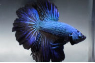 Betta Fish for Sale